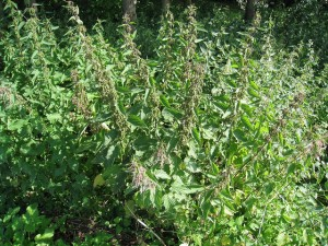 a large clump of green stinging nettles