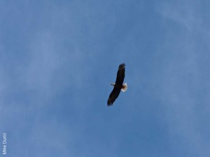 05j_bald-eagle-soaring