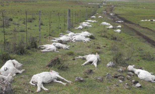Uruguay'daki fırtınada telef olan hayvanlar