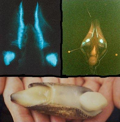 bionique-a247-pholas-dactylus-aaa-6dfe4