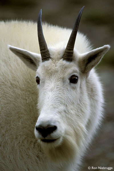 A mountain goat – there's no evidence Uncle George has ever had sex with one of these although we think he may have one doing his PR.